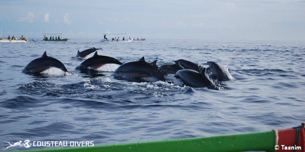 dolphins, bali dolphins, bali whales, bali indonesia