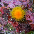 other invertebrate, ohiat, british columbia, cold water, orange cup coral