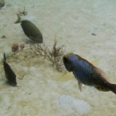 parrotfish, tropical fish, grazing