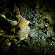 nudibranch, winter diving, sweden, gothenburg, bottom, shallow, february, drysuit, cute