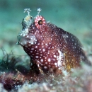 starry blenny, mabul