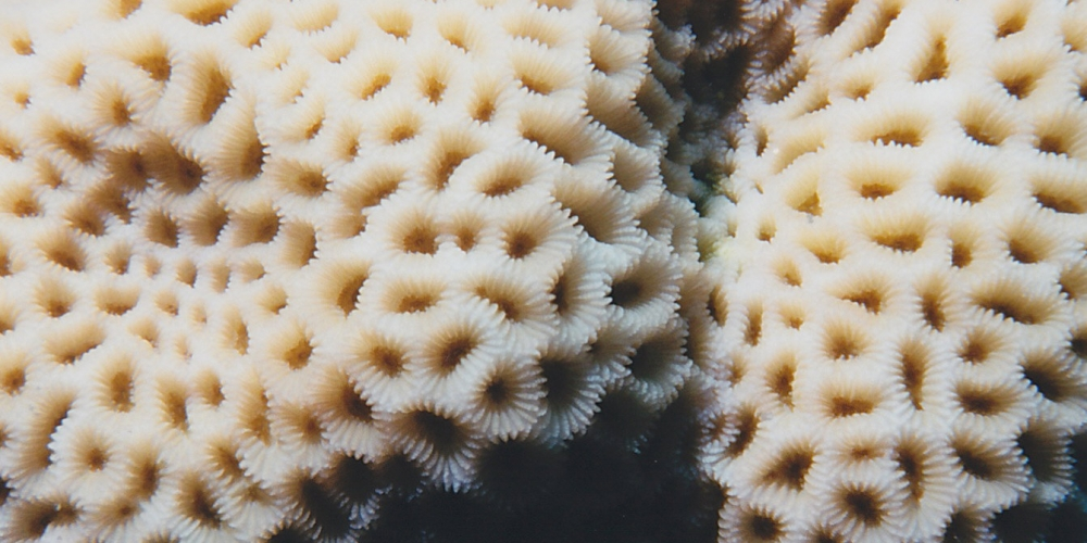 red sea, macro, coral