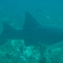 mexico, reef punta negra, nurse shark