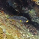 fish, bali, tropical, indo pacific, tulamben, diagonal sweetlips