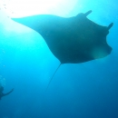 manta ray, marine sanctuary, flower garden banks, sanctuary