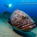 canary islands, lanzarote, dusky grouper