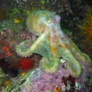 other invertebrate, pacific northwest, ohiat, british columbia, barkley sound, giant pacific octopus, gpo