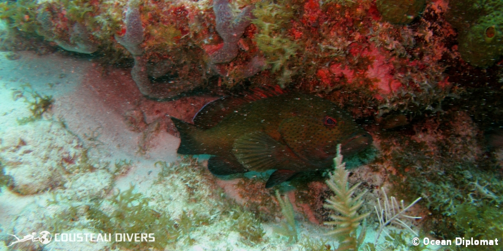 grouper, key largo, french reef, coney