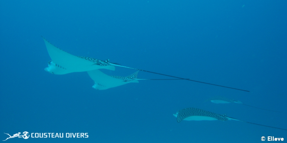 mexico, eagle ray, c53 wreck
