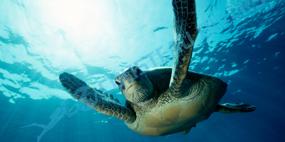 turtle, hawaii, cousteau moments, reptile or amphibian