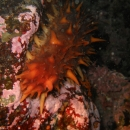 invertebrate, british columbia, cold water, victoria, ogden point, sea cucumber, california sea cucumber