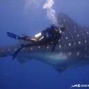 whale shark, galapagos islands, galapagos expedition, rhincodon typus