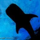 diver, indonesia, shark diving, whale shark, diving