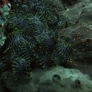 bali, invertebrate, crinoid, tropical, indo pacific, feather star