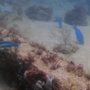parrotfish, artificial reef, grazing, blue parrotfish
