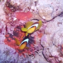 red sea, clownfish
