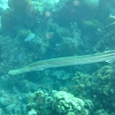 seascape, trumpet fish