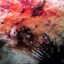 anemone, gulf of mexico, florida, natural reef, gulf coast, clearwater, veteran's reef, ledge, urchin