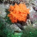 scientific study, invertebrate, british columbia, cold water, sea cucumber, orange sea cucumber, bamfield