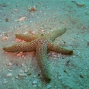 starfish, artificial reef, gulf of mexico