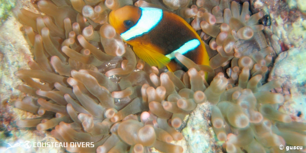 red sea, clownfish, pez payaso