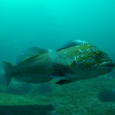 fish, wreck, british columbia, cold water, quadra island, greenling, kelp geenling, male