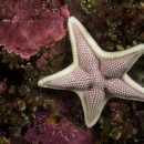 other invertebrate, estrella de mar, sea stars, pichidangui, odontaster penicillatus