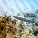 barracuda, key largo, french reef