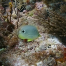 butterflyfish, key largo, french reef, foureye butterflyfish