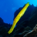 rapa nui, chile, aulostomus chinensis, toto amo, pez trompeta chino, chinese trumpetfish, ocean pacific