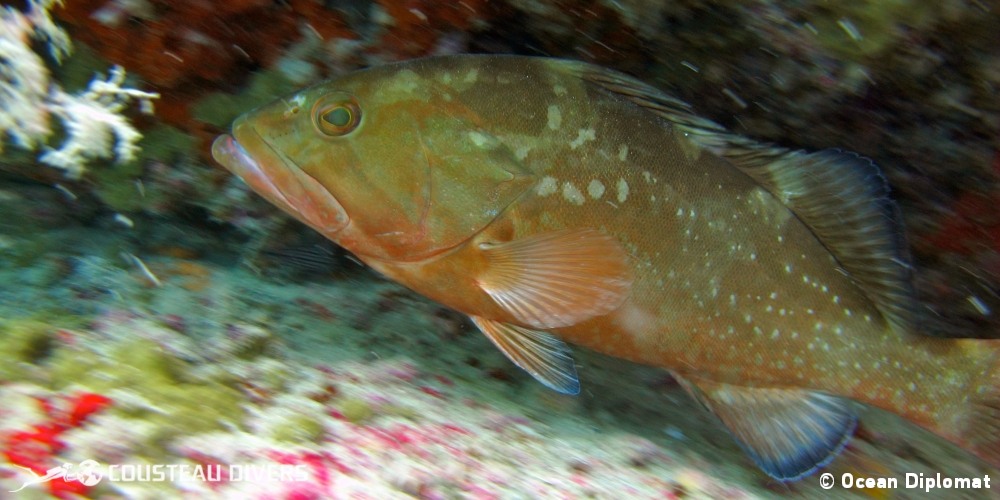 grouper, gulf of mexico, florida, natural reef, gulf coast, clearwater, veteran's reef, ledge