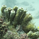 artificial reef, tube sponge, sponges
