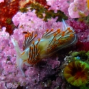 macro, other invertebrate, nudibranch, british columbia, cold water, opalescent nudibranch