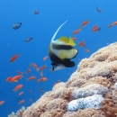 butterflyfish, sharm el sheikh, jackson reef, red sea banner fish