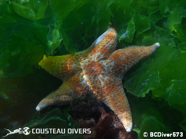 scientific study, starfish, british columbia, cold water, sea star, leather star, great tide pool, wouwer island, broken group islands