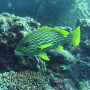 fish, bali, tropical, indo pacific, tulamben, sweetlips