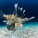 lionfish, maldives, sand, rubble