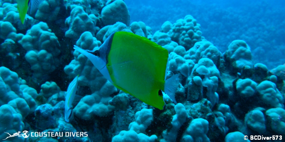 hawaii, fish, oahu, tropical, butterflyfish