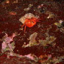 invertebrate, crab, british columbia, cold water, victoria, ogden point, orange hermit crab, hermit crab