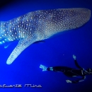 diver, indonesia, shark diving, whale shark