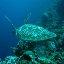 manado, green turtle, north sulawesi