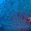 red sea, gorgonia