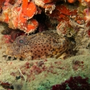 gulf of mexico, florida, natural reef, gulf coast, clearwater, veteran's reef, toadfish, batrachoididae