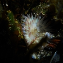 anemone, scientific study, invertebrate, british columbia, cold water, great tide pool, wouwer island, broken group islands