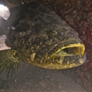 gulf of mexico, florida, goliath grouper, natural reef, gulf coast, clearwater, veteran's reef