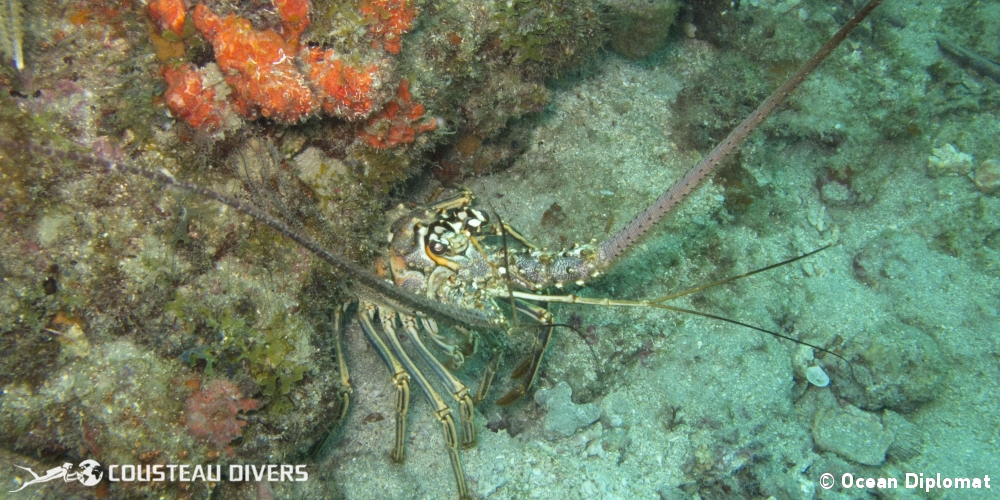 lobster, pomacanthus paru, caribbean spiny lobster