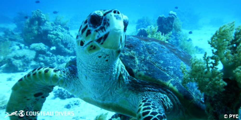 red sea, turtle