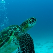green turtle, galapagos islands, pacific ocean, tortuga, ecuador