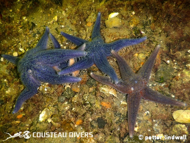 starfish, diving, sweden, gothenburg, bottom, shallow, february, drysuit