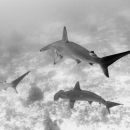 hammerhead shark, galapagos islands, tiburón martillo, sphyrna lewini, ecuador, golden´s rocks